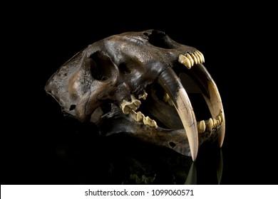 Saber Tooth Tiger Skull Fossil (Smilodon)