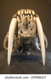 Saber tooth tiger skull, with long white front teeth, from front side.
