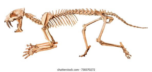 Saber - toothed tiger ( Hoplophoneus primaevus ) skeleton . Isolated background .