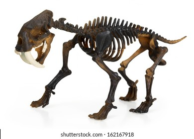 Saber toothed tiger Skeleton isolated on white