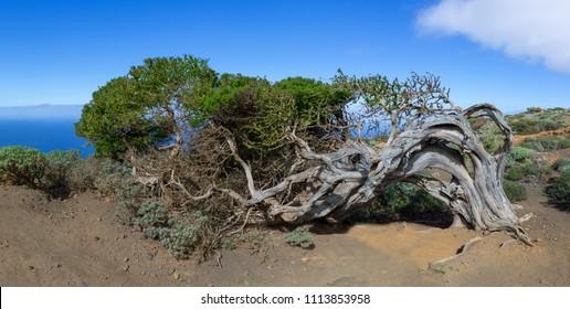 Sabina - wind bent juniper tree on the island El Hierro, Canary Island, Spain