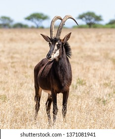 A Sable antelope bull standing in Southern African savanna