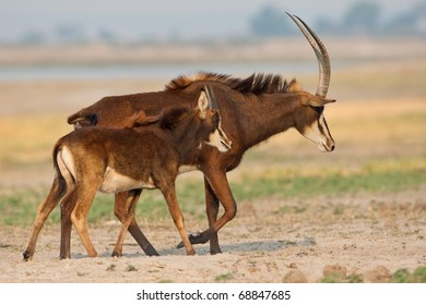 Sable Antelope, Chobe National Park, Botswana