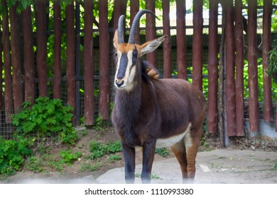 Sable antelope (Hippotragus niger) in the Moscow Zoo