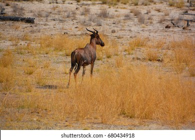 The sable antelope (Hippotragus niger) is an antelope which inhabits wooded savannah in East Africa south of Kenya, and in Southern Africa.(Etosha National Park) Namibia Africa
