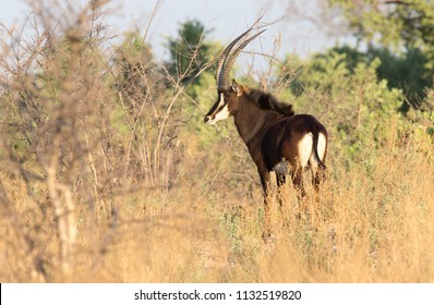 Sable Antelope in the Linyanti area, Botswana