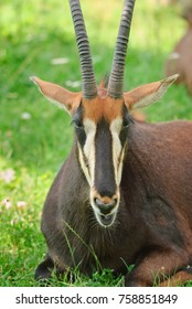 The sable antelope or niger cow (Hippotragus niger). Female