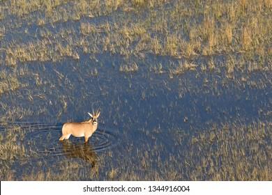 Sable antelope in the Okavango Delta