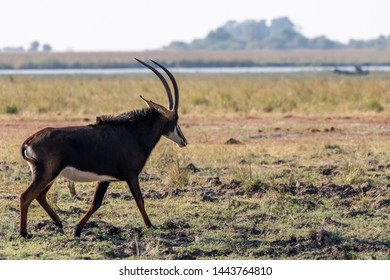 Sable antelope at the wetlands at the chobe river in Botswana in africa