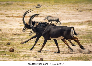 Sable antelopes at Bwabwata N.P. Namibia