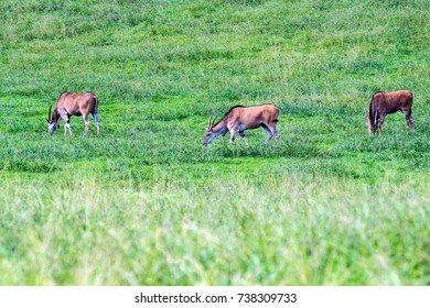 Sable antelopes in grass
