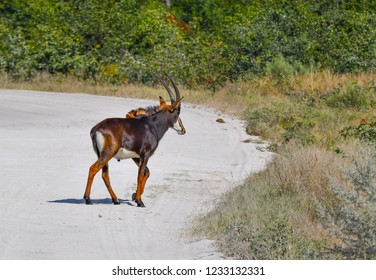Sable Antilope on road