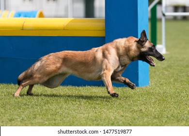 Sable with black mask working Belgian shepherd malinua dog doing agility slalom on dog agility course competition. Fast  malinois running fast speed on outside grass field