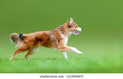 Sable border collie running forward in the summer field