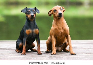 Sable brown and black and tan miniature pinscher portrait on summer time.  German miniature pinscher sitting outdoors on a wooden pier with green background. Smart and cute pincher with big funny ears