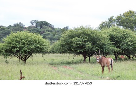 sable bull antelope in African bush savannah with thorn trees