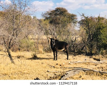 Sable bull in winter, South Africa