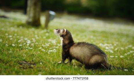 Sable Ferret outdoor portrait on grass