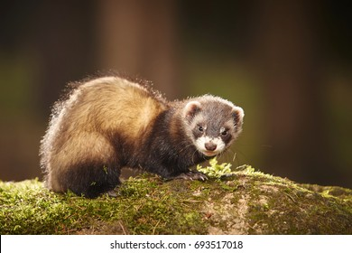 Sable ferret posing on moss deep in summer forest