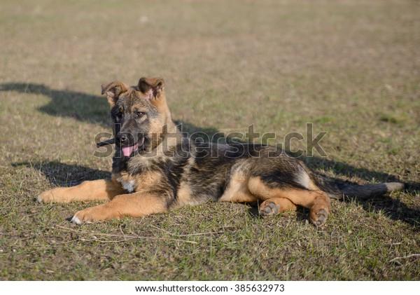 Sable German Shepherd Puppy On Walk Stock Photo Edit Now 385632973