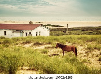 A Sable Island horse and a Foal taking a nap. Marram grass growing from sand dunes provide food for these wild horses on Sable Island.