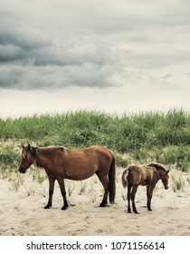 A Sable Island horse grazing on marram grass growing from a sand dune on Sable Island. A rare glimpse into the world of Sable Island.