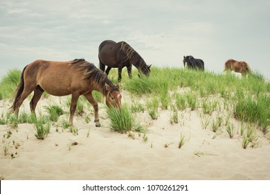 Sable Island wild horses. Two mares, a stallion and a young foal grazing from sand dunes on the historical Sable Island Nature Reserve.