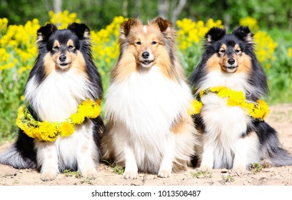 Sable white and black tricolour shelties, shetland sheepdogs sitiing outside with yellow meadow dandellions flowers in sunny summer time