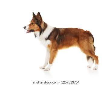 Sable&white border collie isolated