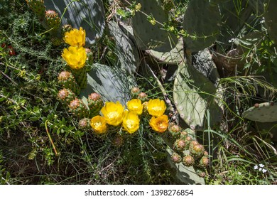 Sabra cactus buds and flowers against a blurry background of prickly thickets closeup
