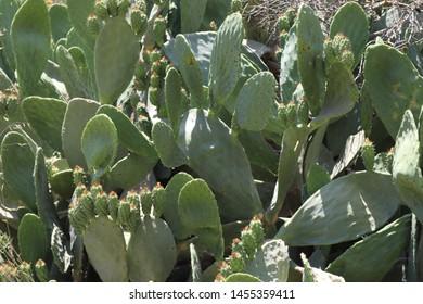 the sabra cactus an emblem of israel