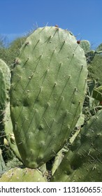 The Sabra plant closeup leaf