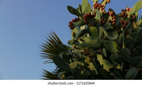Sabra Plant - Jerusalem - Israel