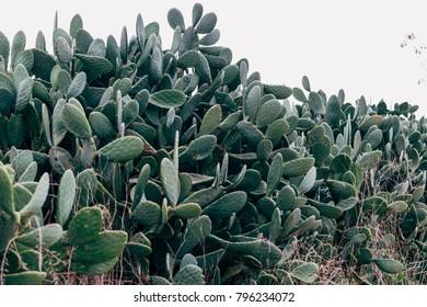 The sabra tree