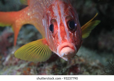 Sabre Squirrelfish in the coral reef