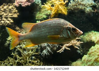 Sabre squirrelfish, giant squirrelfish, spiny squirrelfish (Sargocentron spiniferum).
