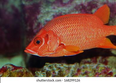 Sabre squirrelfish or Long-jawed squirrelfish (Sargocentron spiniferum)