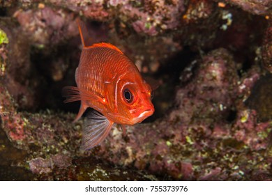 Sabre squirrelfish, Sargocentrom spiniferum