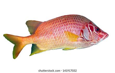 Sabre squirrelfish (Sargocentron spiniferum) isolated on white background.