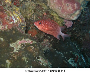 Sabre Squirrelfish Sargocentron spiniferum Also known as Giant Squirrelfish, Long Jaw Squirrelfish, Spinecheek Squirrelfish. Its common name refers to the very long.  are nocturnal hunters.