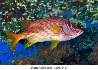 Sabre squirrelfish (Sargocentron spiniferum) in the Red Sea, Egypt.