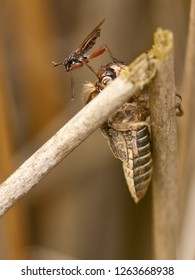 Sabre wasp (Rhyssinae) on dead nymph of dragonfly.