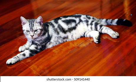 SABSAB, american short hair cat