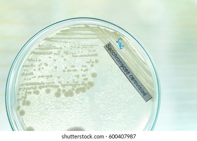 sacchromyces colony in petridish with microbiology concept
