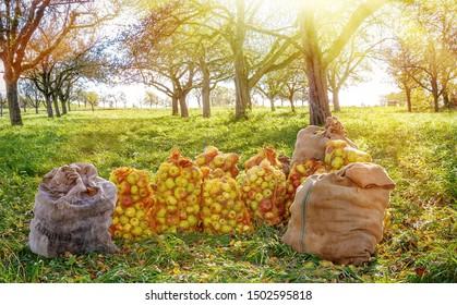 Säcke mit frischen Äpfeln in der Sonne