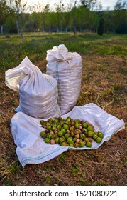 Sacks of walnuts in an orchard at harvest time