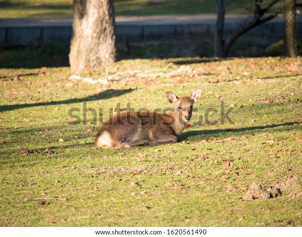 Sacred baby deer laying on the grass in Nara park in Nara - ancient capital of Japan in autumn
