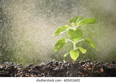sacred basil sprout in water spraying