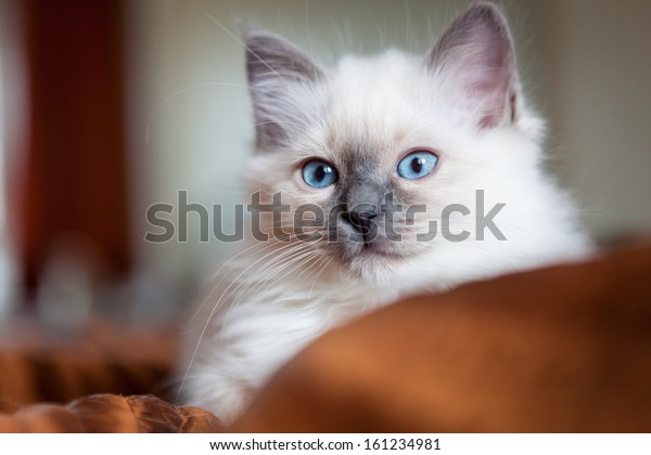 Sacred birman kitty
