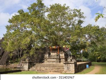 The sacred Bodhi tree in the Palace-temple Isurumuniya. Anuradhapura, Sri Lanka